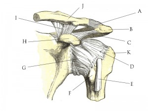 Shoulder_joint_anatomy_quiz